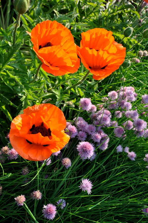 Chives and Poppies in bloom