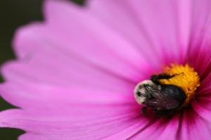 bumble bee asleep on flower