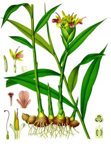 botanical illustration of ginger